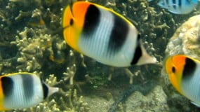 The Great Fiji Butterflyfish Count – November 2-8, 2008