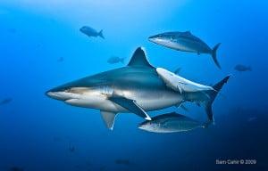Silvertip Shark - Sam Cahir